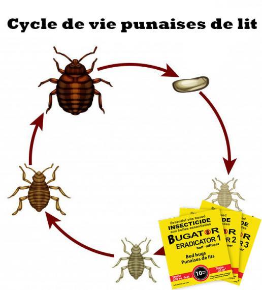 Cycle de vie des punaises de lit - Bugator